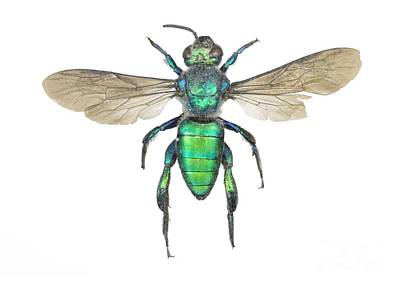 Augochlora Sweat Bee Art Print by Lawrence Lawry
