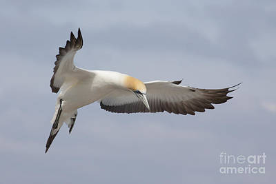 Photograph - Australasian Gannet In Flight by Karen Van Der Zijden
