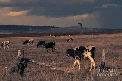 Photograph - Australian Cows by Rob D