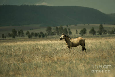 Photograph - Australian Horse In The Paddock by Rob D