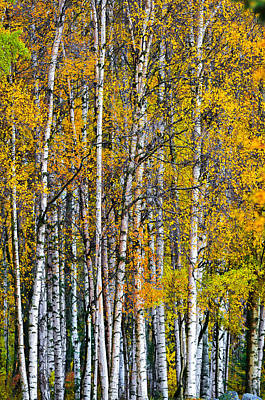 Photograph - Autumn Aspen by Brian Stevens