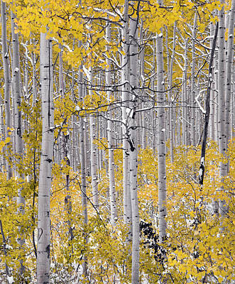 Photograph - Autumn Aspens 10 by Leland D Howard