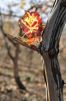 Photograph - Autumn At Lachish Vineyard 6 by Dubi Roman