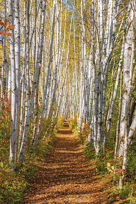 Photograph - Autumn Birch Path by Chris Whiton