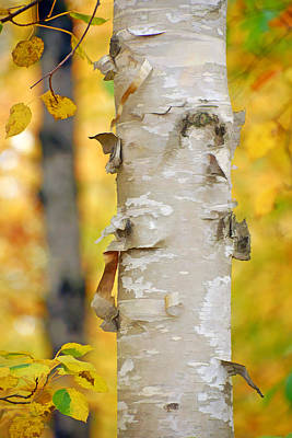 Photograph - Autumn Birches by Leda Robertson