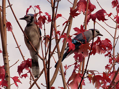 Photograph - Autumn Blue Jay 2 by Leslie Montgomery