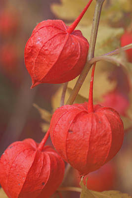 Photograph - autumn Chinese Lantern by Jeff Folger