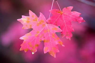Autumn Color Maple Tree Leaves Art Print