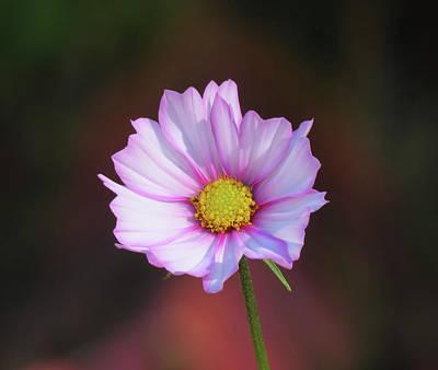 Photograph - Autumn Daisy - Cosmos by MTBobbins Photography