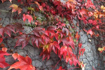 Photograph - Autumn Ivy by Karen Molenaar Terrell