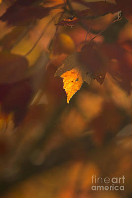 Fall Foliage Photograph - Autumn Leaf In Sunshine by Diane Diederich