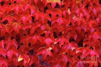 Photograph - Autumn Leaves Vine Maple by Jim Corwin