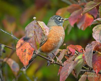 Photograph - Autumn Robin In The Dogwood by Kerri Farley