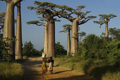 Photograph - Avenue Des Baobabs by Michele Burgess