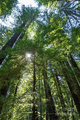 Avenue Of The Giants Redwood Trees California Dsc5458 Art Print