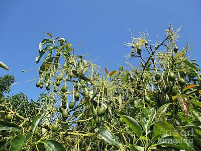 Photograph - Avocado Tree In Istan by Chani Demuijlder