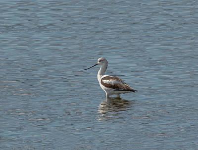 Ornithology Photograph - Avocet In The Marsh by John M Bailey