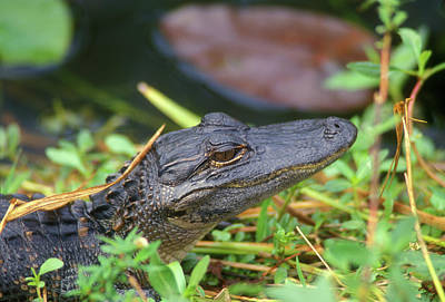 Photograph - Baby Alligator by John Burk