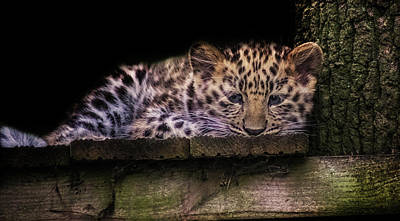 Snow Cat Photograph - Baby Amur Leopard by Martin Newman