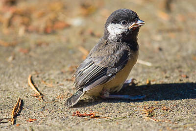 Baby Bird Photograph - Baby Chickadee by Naman Imagery