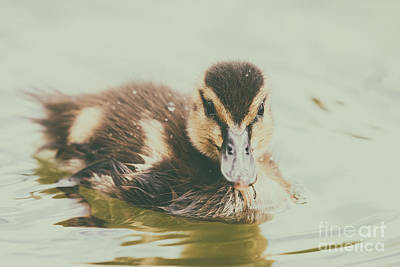 Baby Duck Bird Swimming On Water Art Print