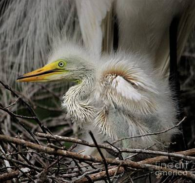 Photograph - Baby Egret Wings by Paulette Thomas