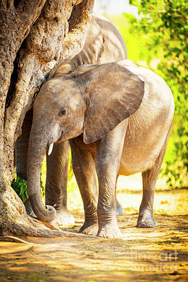 Spot Of Tea Royalty Free Images - Baby Elephant in Africa Royalty-Free Image by Tim Hester