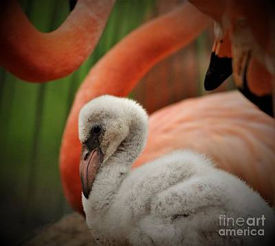 Photograph - Baby Flamingo by Paulette Thomas