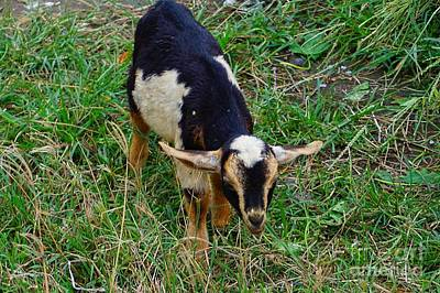 Photograph - Baby Goat by Christopher Shellhammer