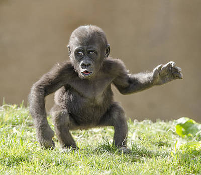 Baby Gorilla Art Print