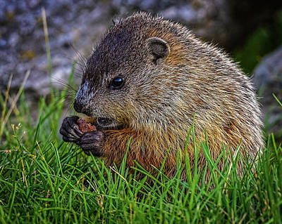 Baby Groundhog Eating Art Print by Bob Orsillo