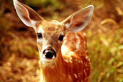 Whitetail Fawn Photograph - Baby Love by Emily Stauring
