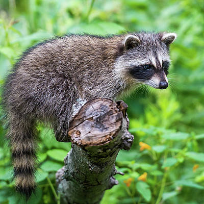 Art Print featuring the photograph Baby Racoon by Paul Freidlund