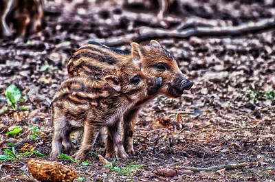 Photograph - Baby Wild Pigs by Oliver Volker