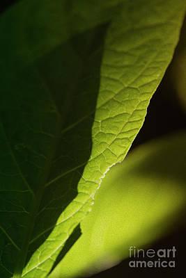 Photograph - Back Lit Green Leaf by Kiran Joshi