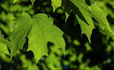 Photograph - Back Lit Leaves by Robert Ullmann