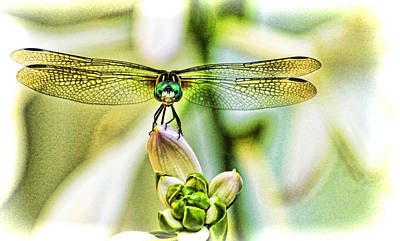 Tiger Dragonflies Photograph - Balancing Act  by Olahs Photography