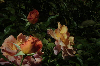 Photograph - Balboa Park Rose Garden Flower 8 by Phyllis Spoor