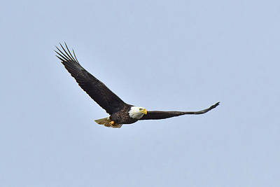 Photograph - Bald Eagle by Alan Lenk