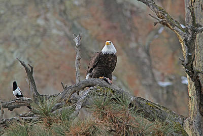 Wall Art - Photograph - Bald Eagle And Magpie by Gary Wing