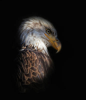 Photograph - Bald Eagle by Angie Vogel