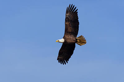 Fall Photograph - Bald Eagle by Benjamin DeHaven