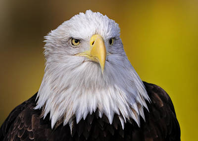 Photograph - Bald Eagle by Bill Dodsworth