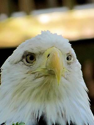 Photograph - Bald Eagle  by Chris Mercer