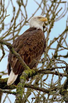 Photograph - Bald Eagle by Craig Strand