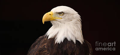 Photograph - Bald Eagle by David Warrington