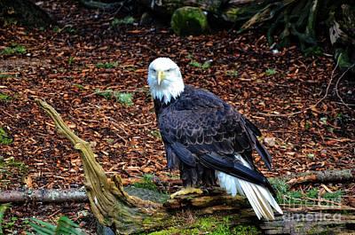 Photograph - Bald Eagle  by Frank Larkin