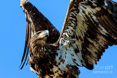 Photograph - Bald Eagle Immature by Ben Graham