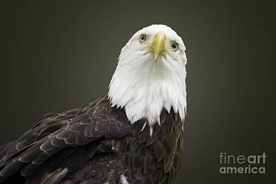 Photograph - Bald Eagle by Jeannette Hunt