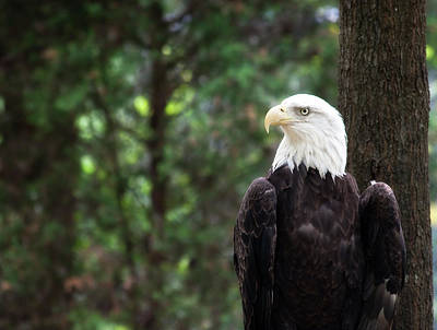 Photograph - Bald Eagle by Jill Lang